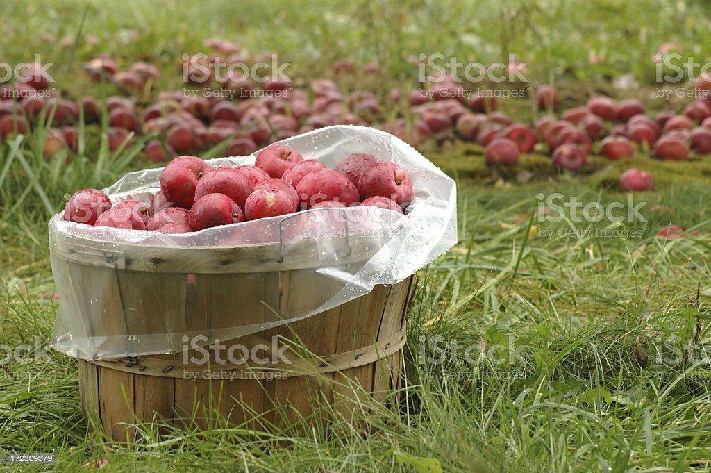 Bushels of Apples royalty-free stock photo