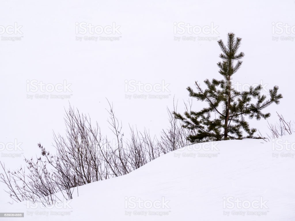 Bushes and pine-tree stock photo