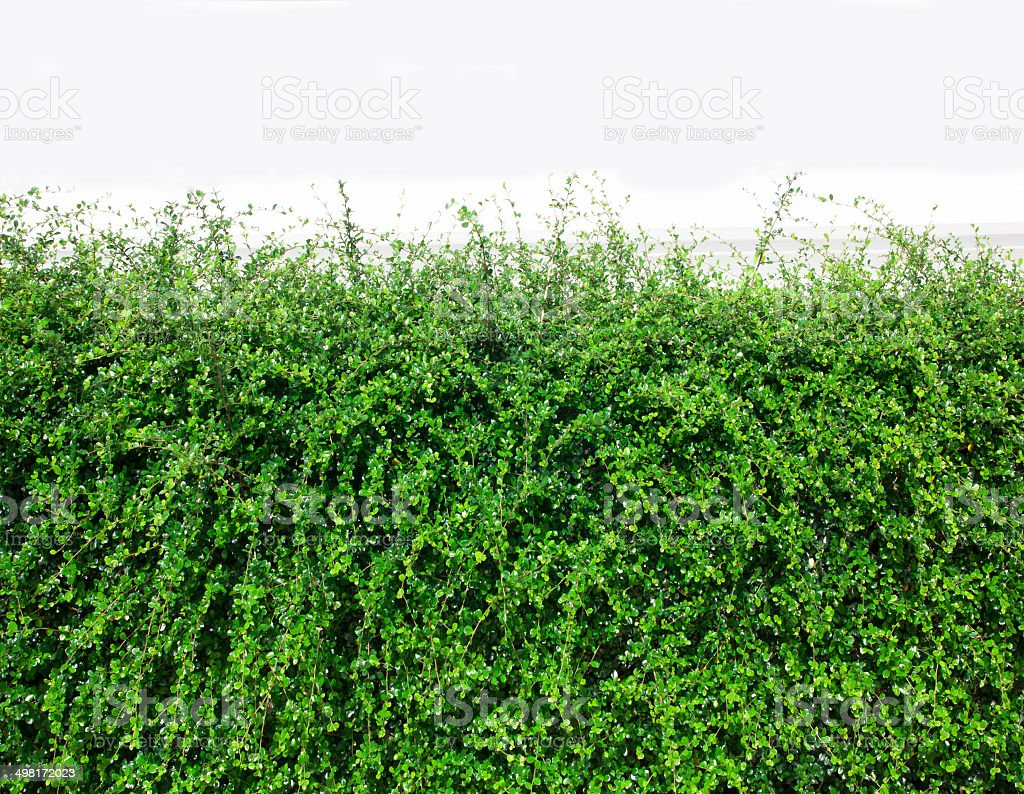 Bushes fence leaves green royalty-free stock photo