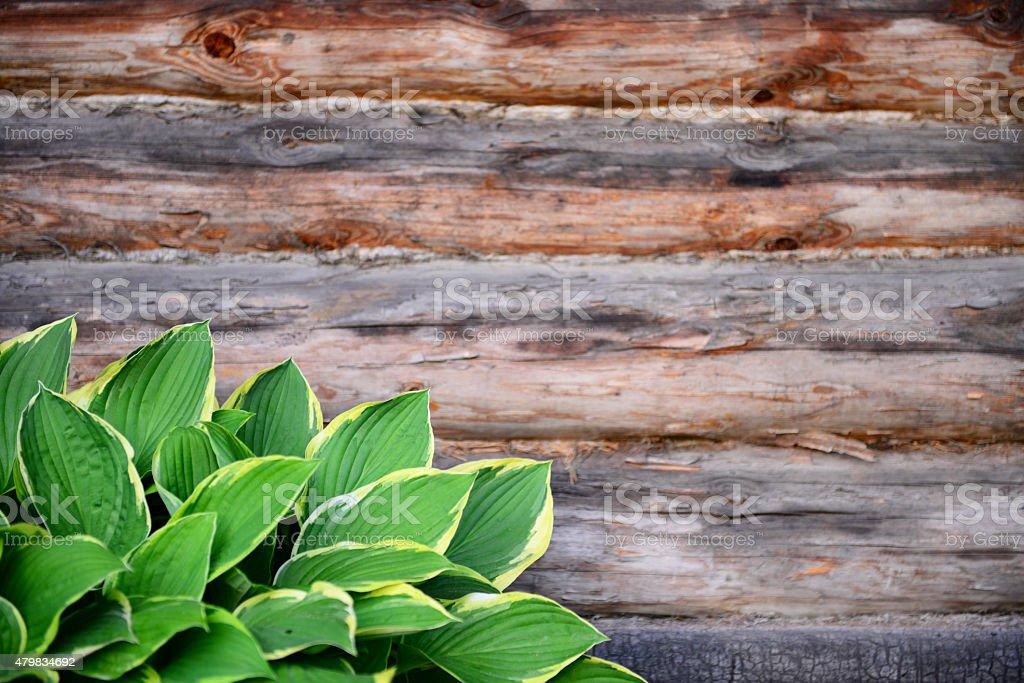 bushes Hosta stock photo