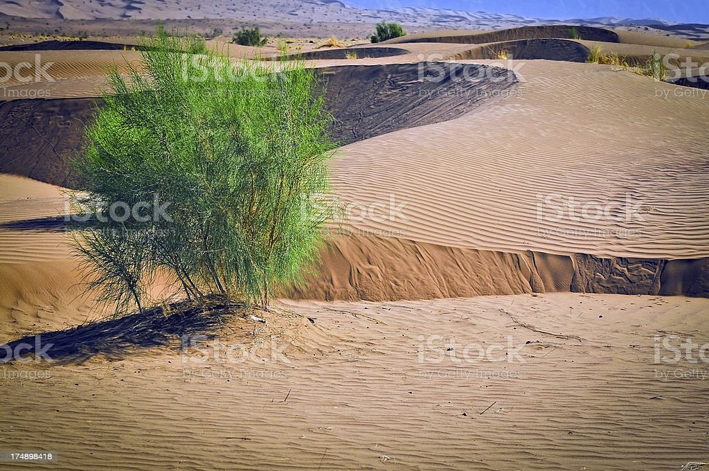 Bushes in Iranian Desert royalty-free stock photo