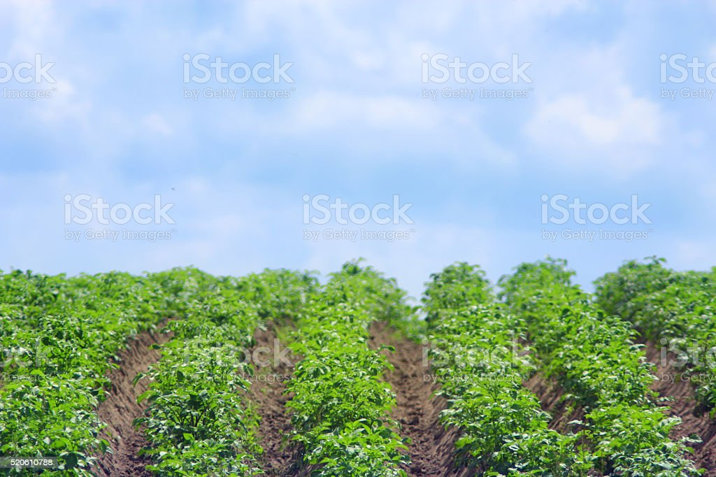bushes of growing potato in row stock photo