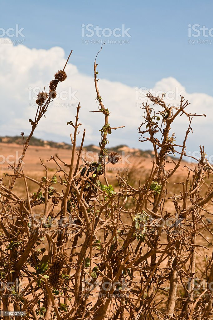 bushes with bur in desert royalty-free stock photo
