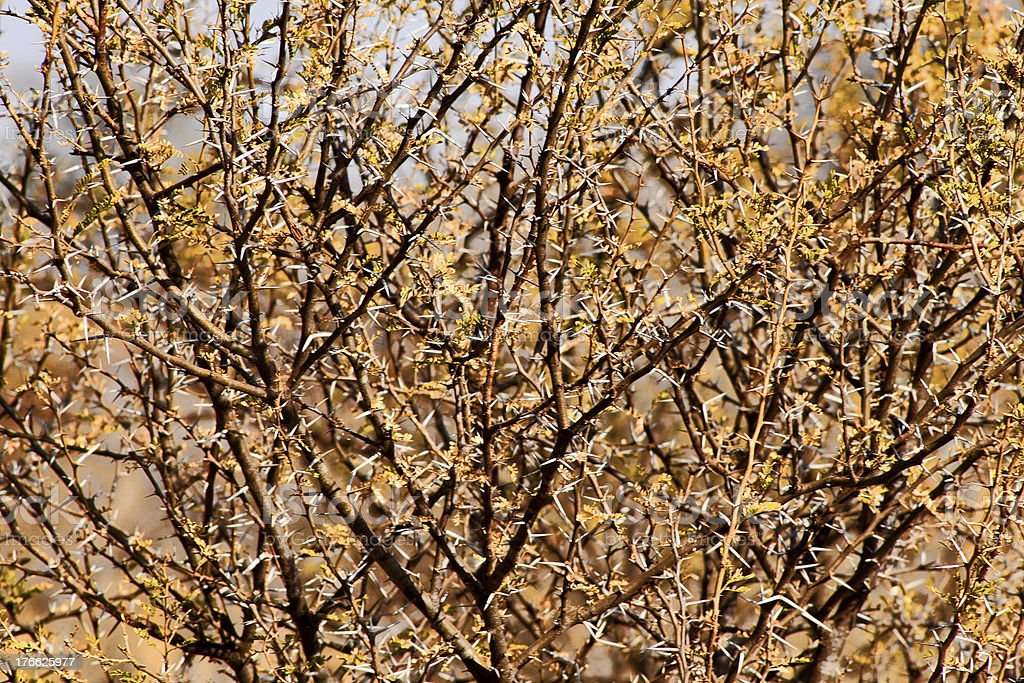 Bushveld Thorn Tree Mesh stock photo