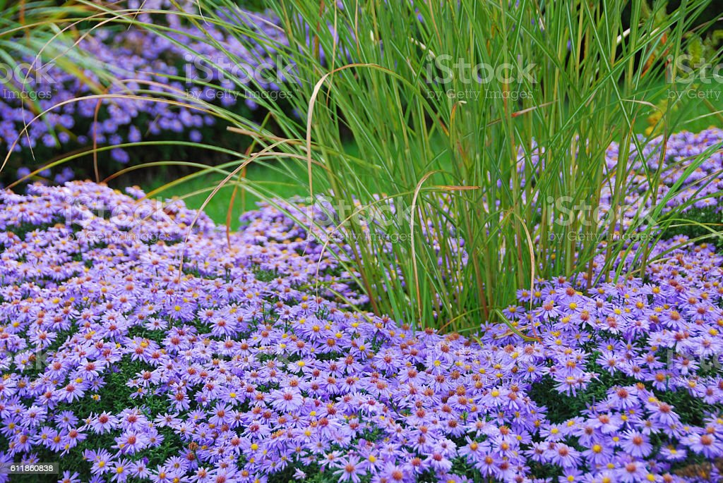Bushy Aster border with in the middle Miscathus stock photo