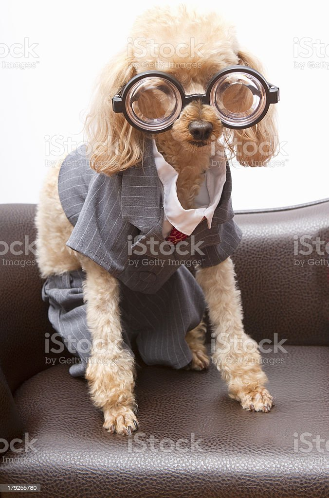 A nerdy poodle in a business suit on a leather chair.