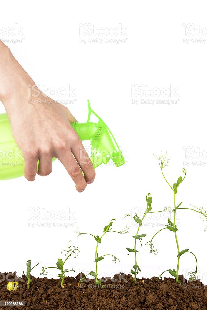 bussiness growth:watering the growing plant royalty-free stock photo