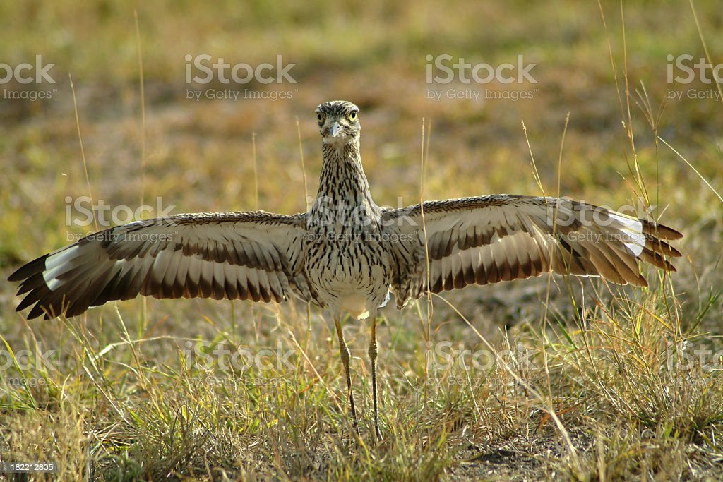 Bustard (bird) in Kenya with spreaded wings royalty-free stock photo