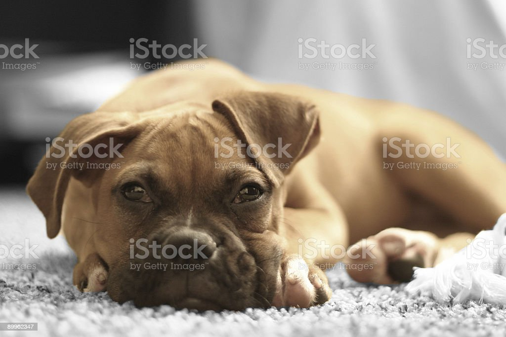Buster the Boxer Pup royalty-free stock photo