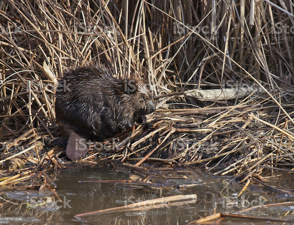 Busy as a beaver royalty-free stock photo