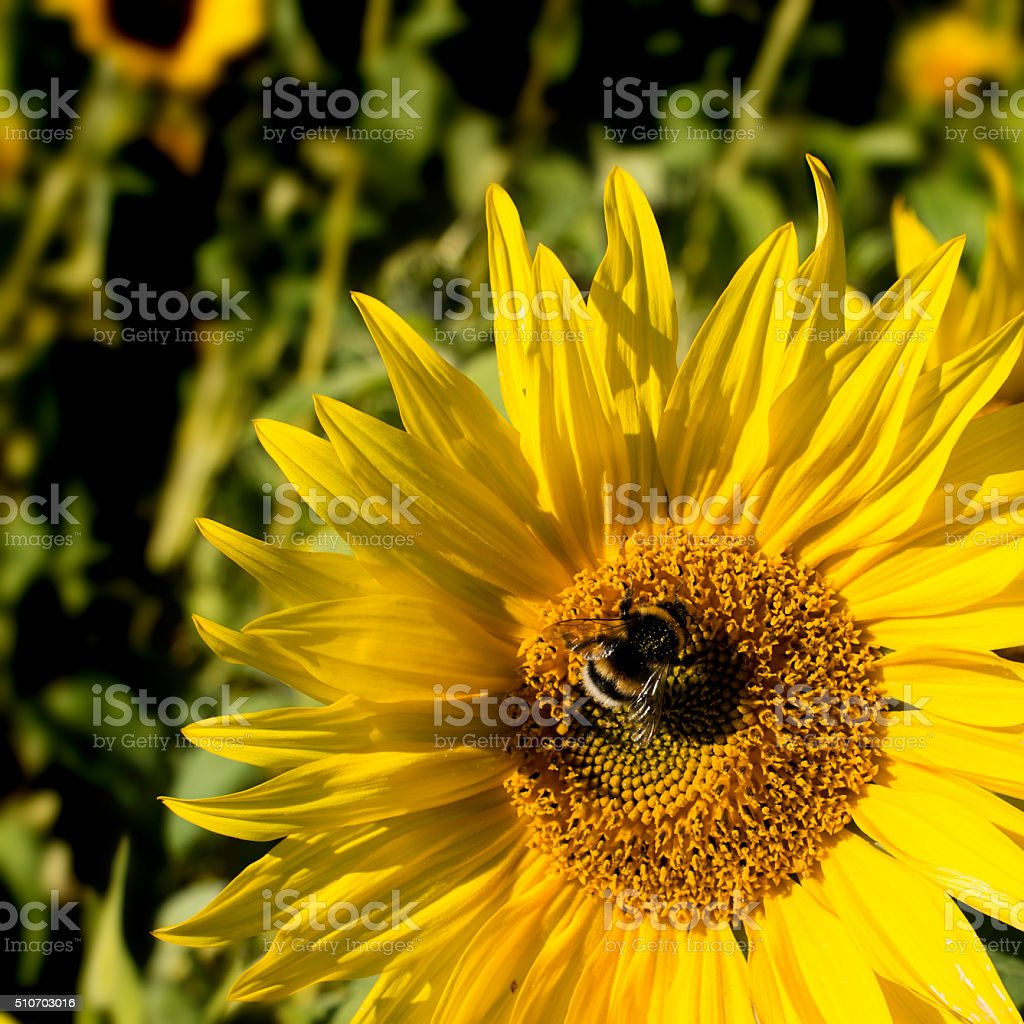 Busy bee on a sunflower stock photo