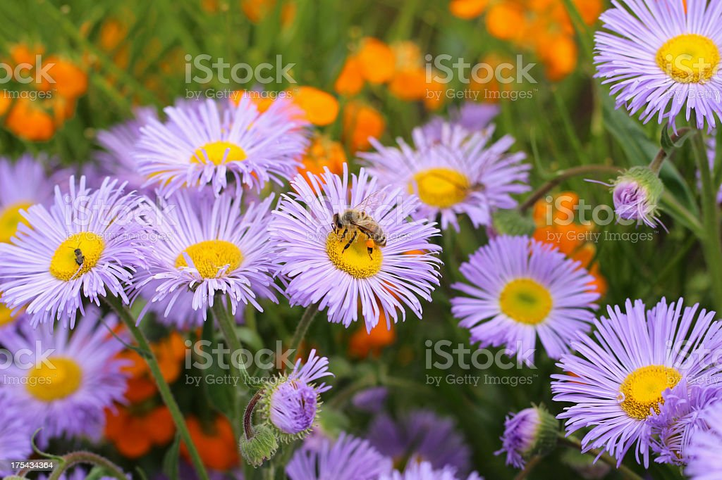 Busy bee on michaelmas daisy stock photo