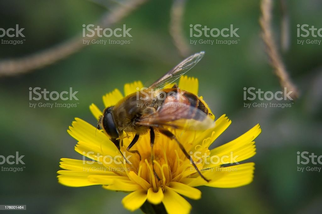 Busy Bee royalty-free stock photo
