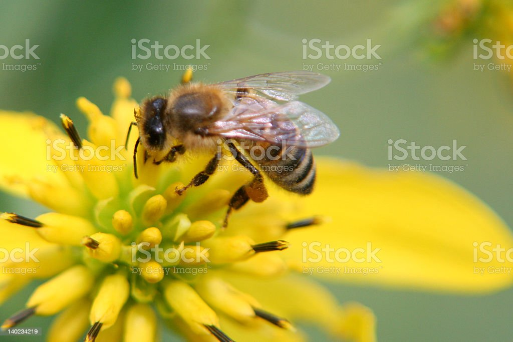A busy bee pollinating a yellow flower stock photo