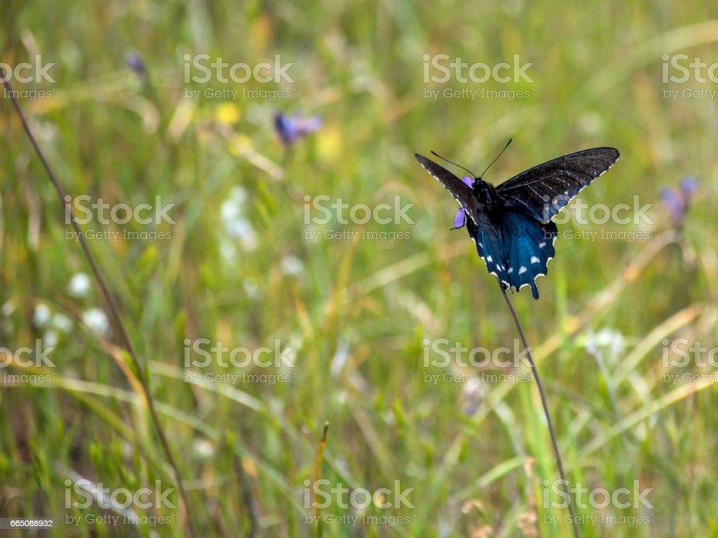 Busy Black Swallowtail Butterfly stock photo