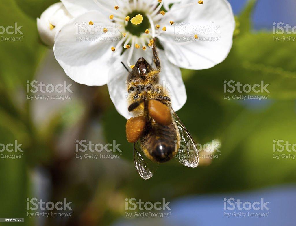 Busy honey bee on a cherry blossom royalty-free stock photo