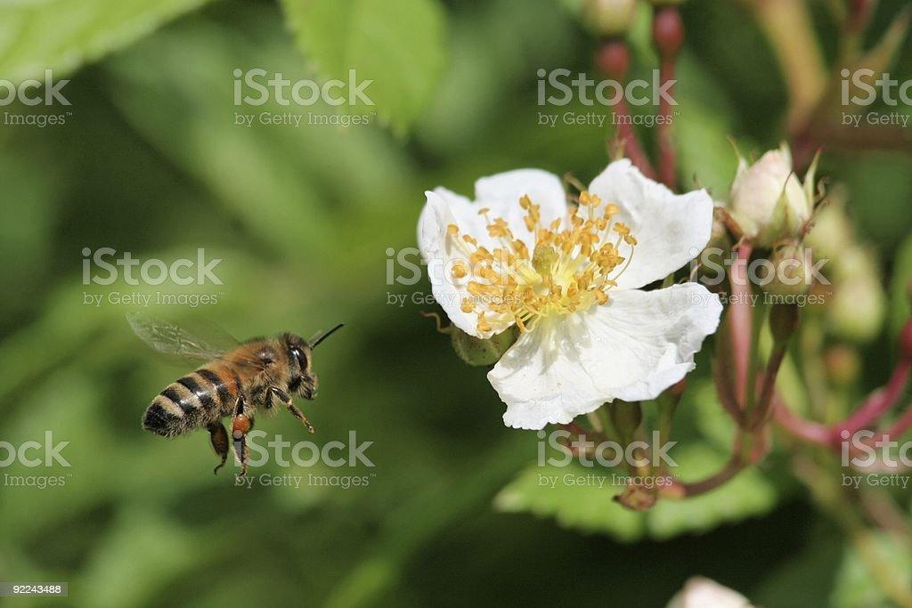 busy honey bee royalty-free stock photo