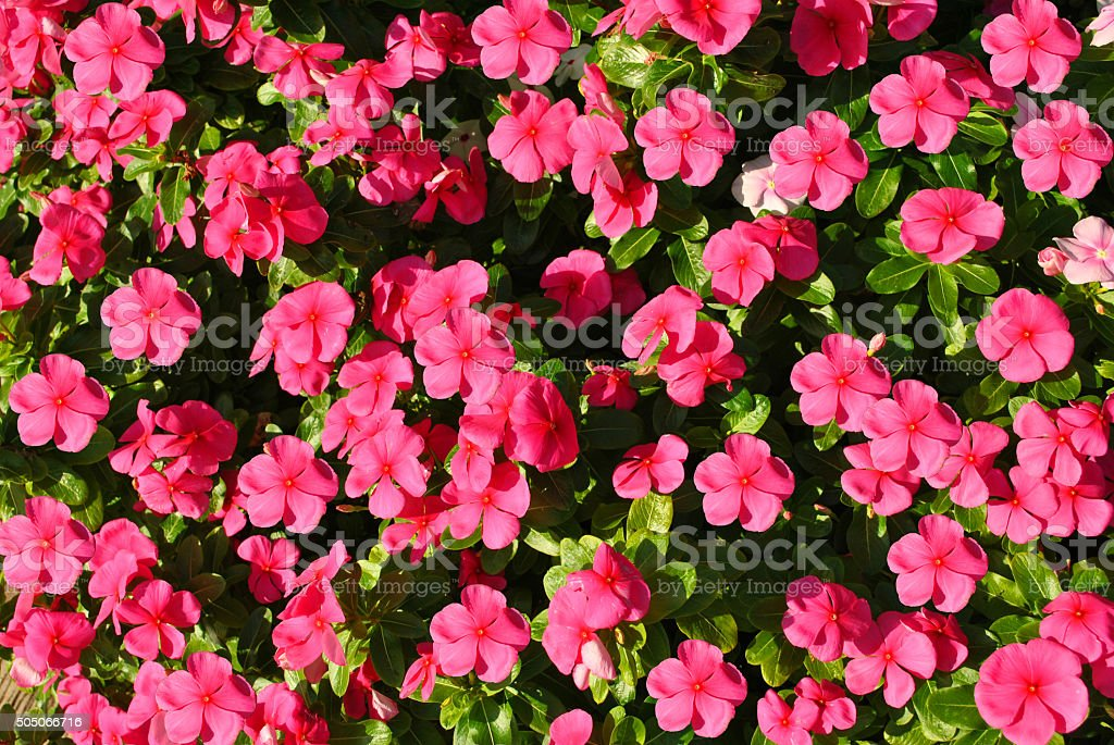 Busy lizzie Botanical name Impatiens Accent Violet flowers stock photo