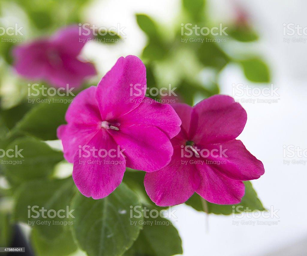 Busy Lizzie flowers stock photo