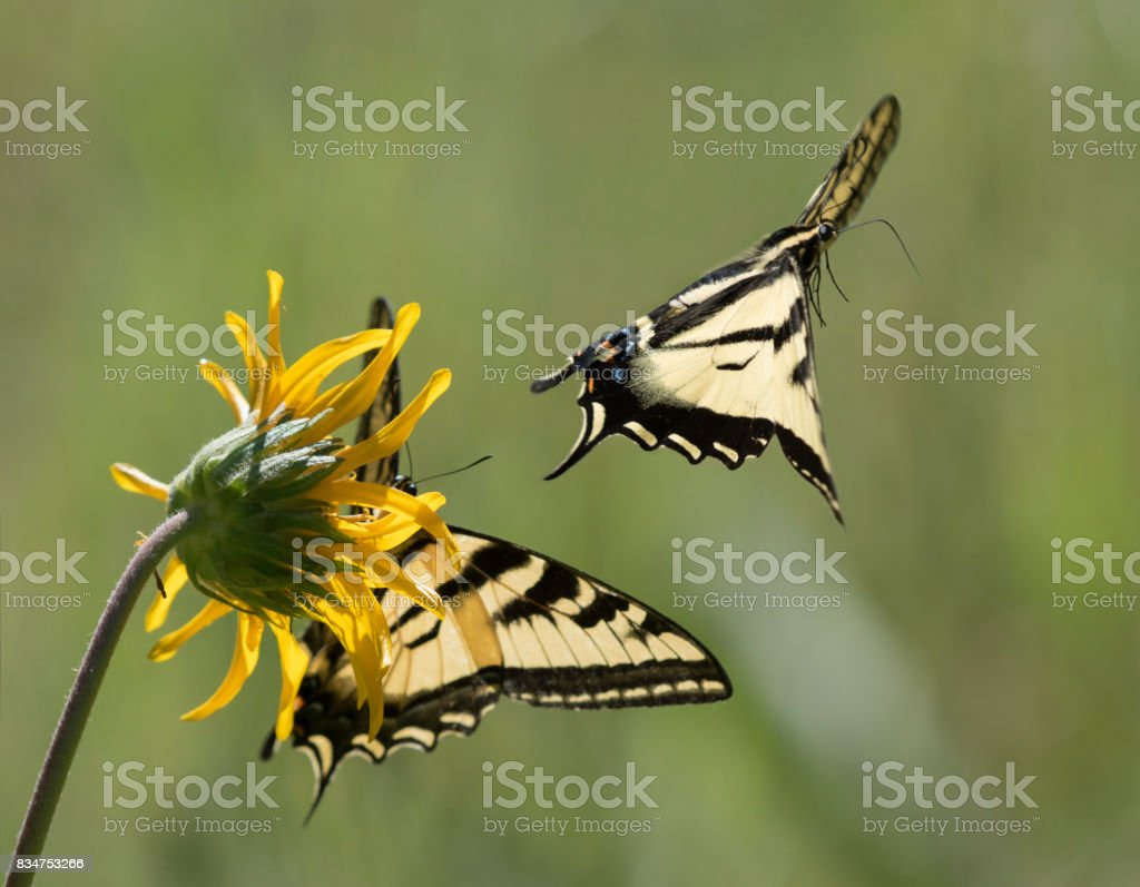 Busy Tiger Butterflies stock photo