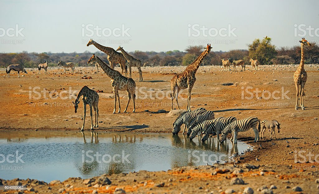 Busy waterhole with Giraffes and zebras drinking stock photo