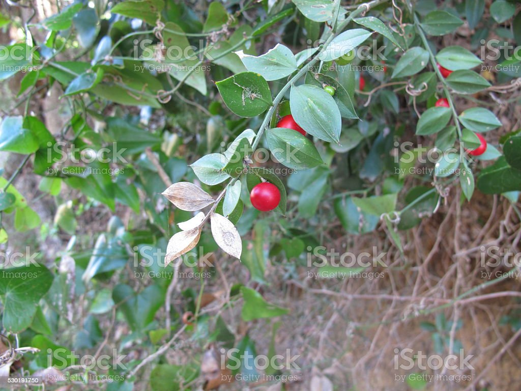 Butcher's-broom with red berries stock photo