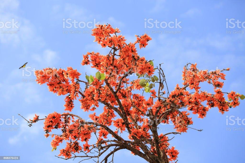 Butea monosperma flower blooming on tree with sky background. stock photo