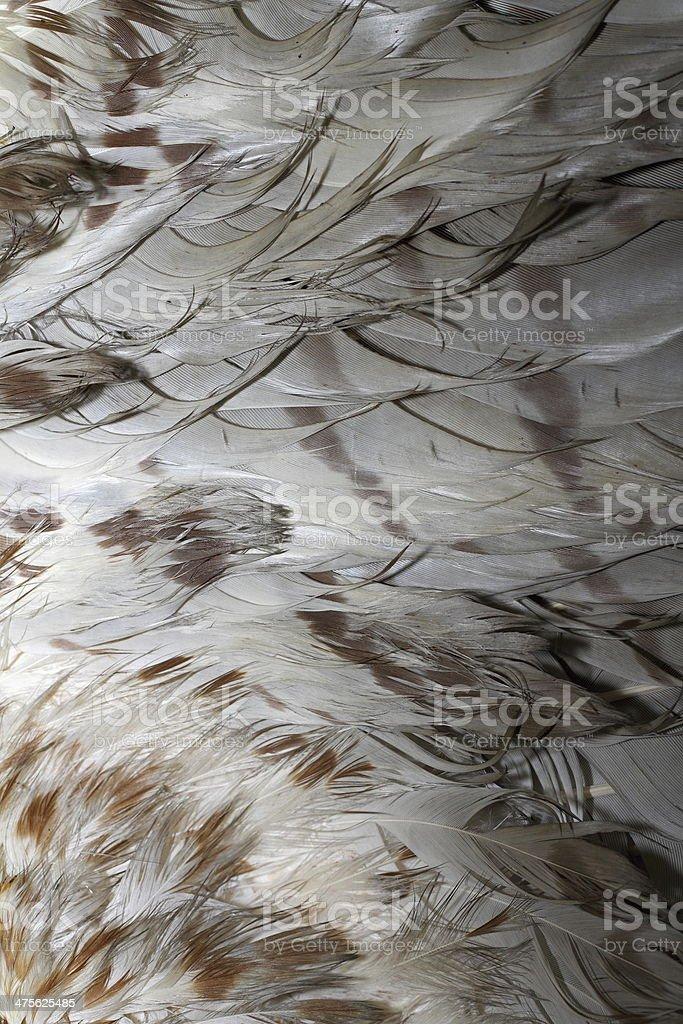 buteo plumage stock photo