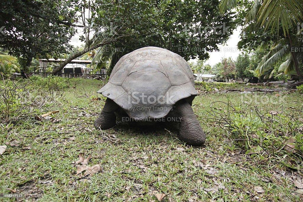 Butt of Aldabra Giant Tortoise, Aldabrachelys gigantea, Seychelles stock photo