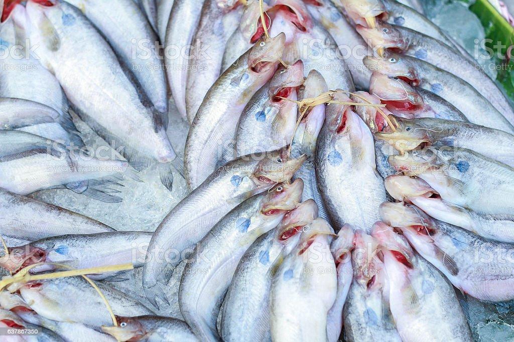 Butter catfish, Two-spot glass catfish,Ompok bimaculatus,Sheatfish,Siluridae,fish background stock photo