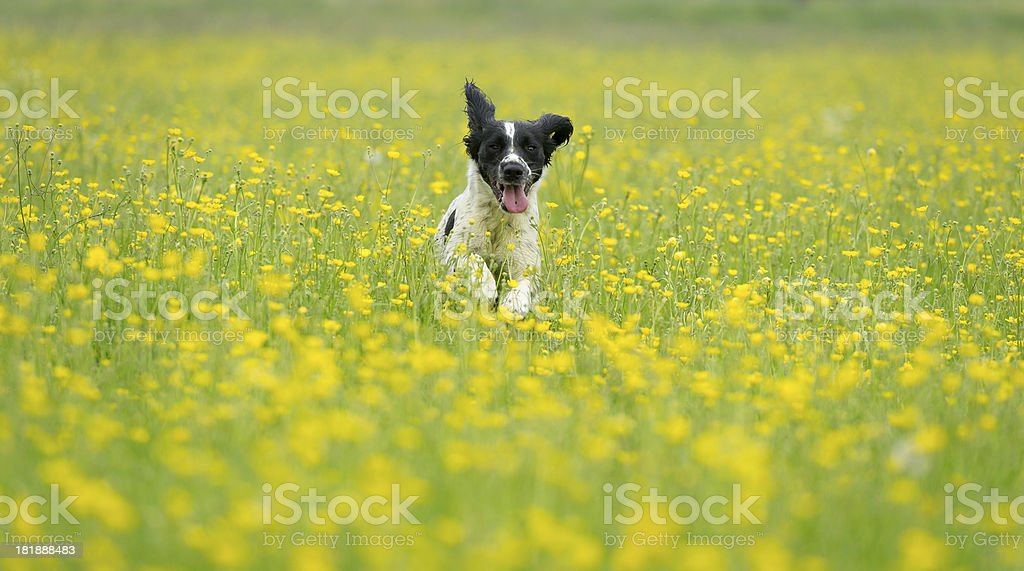 Butter cup meadow royalty-free stock photo