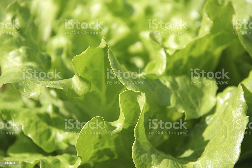 Butter head lettuce leaf royalty-free stock photo