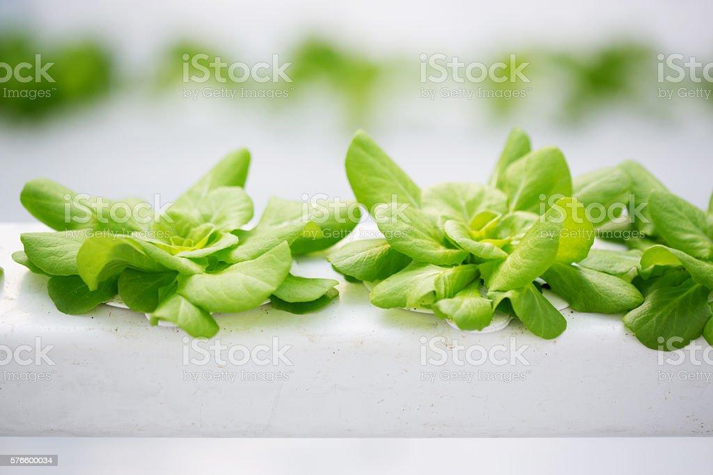 Butter Lettuce Hydroponics stock photo