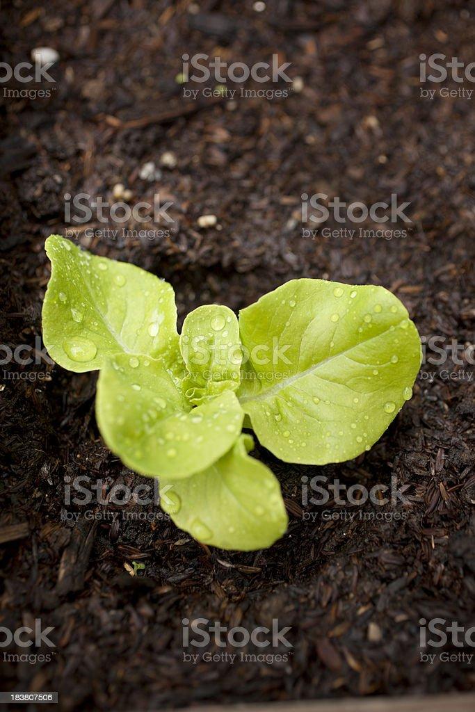 Butter Lettuce Seedling stock photo