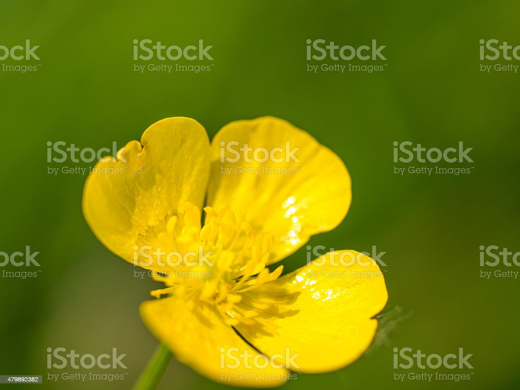 Butterblume stock photo