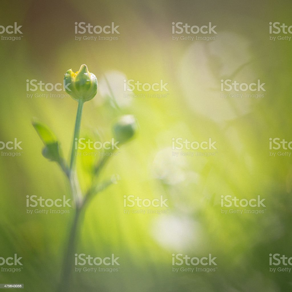 Buttercup bud in meadow stock photo