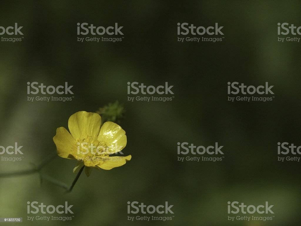 Buttercup Flower - Childhood favorite stock photo
