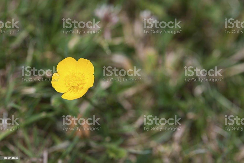 Buttercup flor foto royalty-free