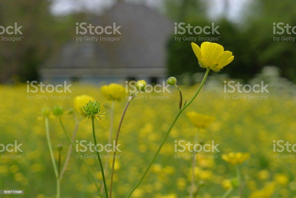 buttercup flowers in field stock photo