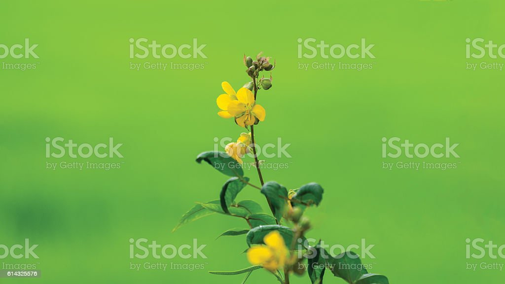 Buttercup in blossom / Yellow flowers stock photo