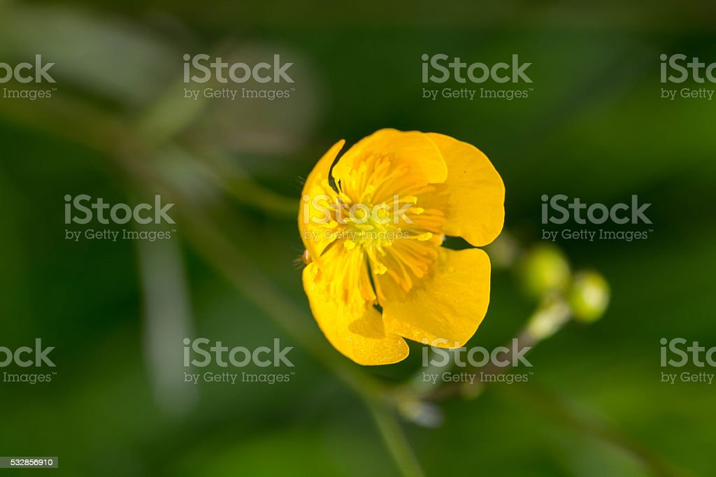 Buttercup in Spring stock photo