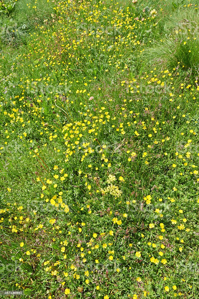 Buttercup Meadow stock photo