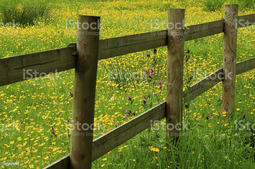 Buttercup meadow,Jersey. royalty-free stock photo