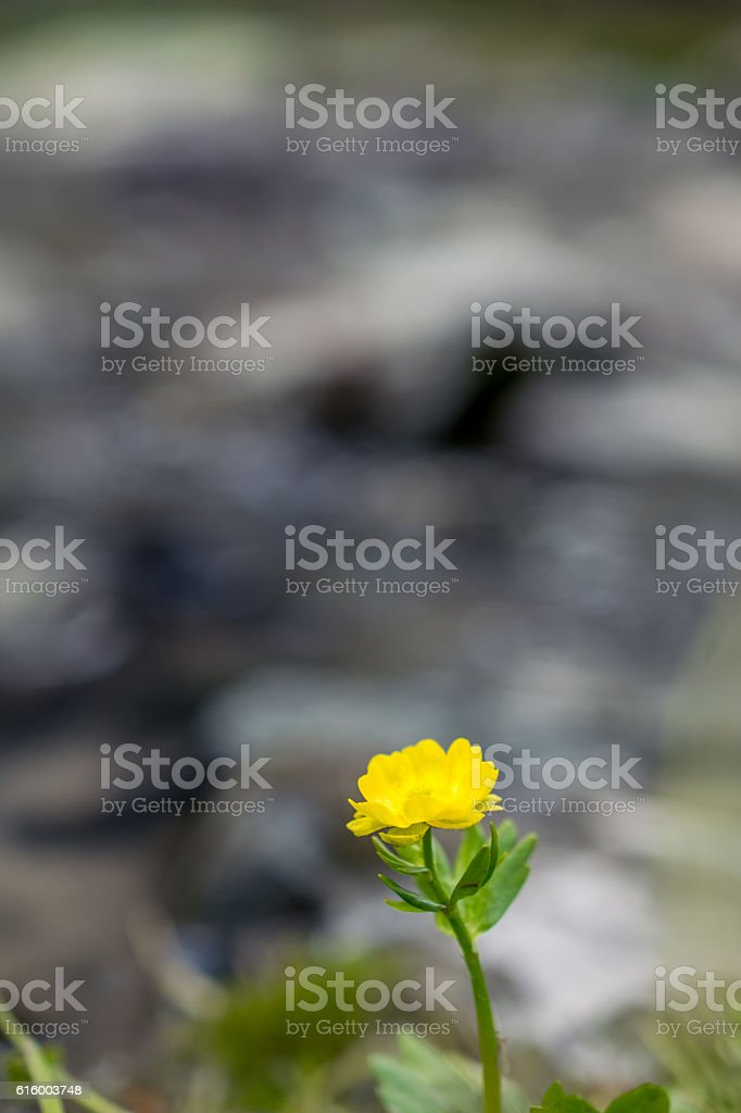 Buttercup on the river bank, Altai mountains, Russia stock photo