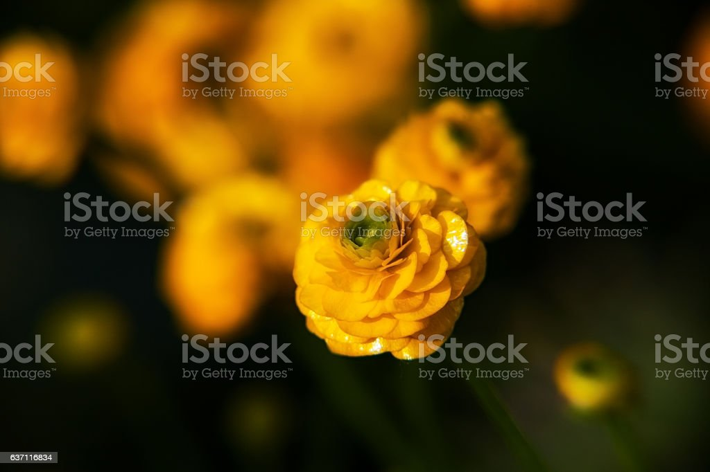 buttercup stock photo
