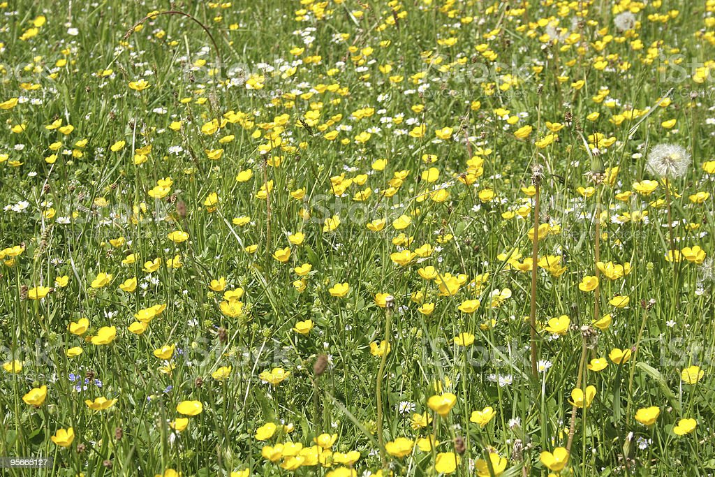 Buttercup (Butterblume) stock photo