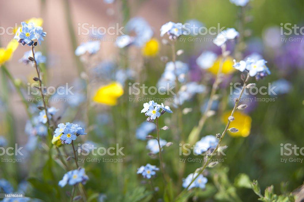 buttercup Ranunculus crowfoot and forget-me-not [ Myosotis sylvatica ] stock photo