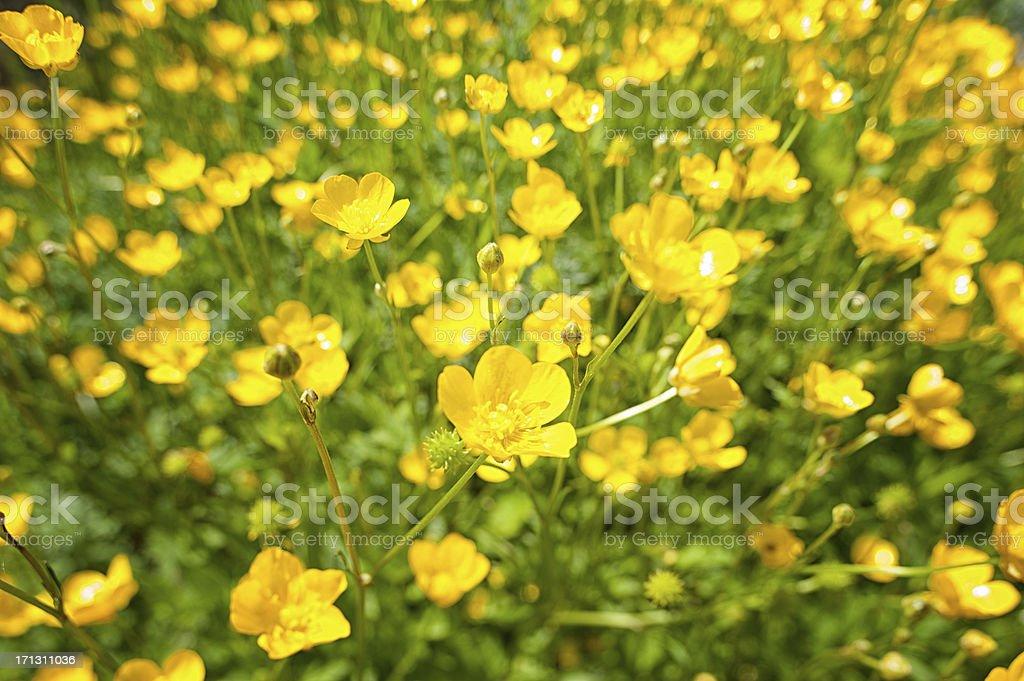Buttercup, Sumpfdotterblume, Caltha palustris) stock photo