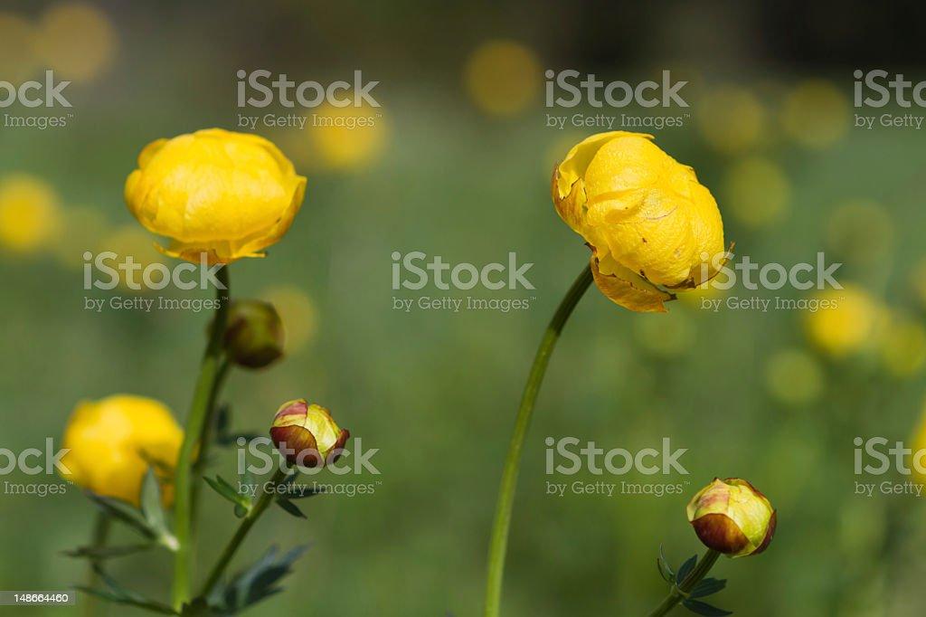 buttercup - Trollius europaeus stock photo