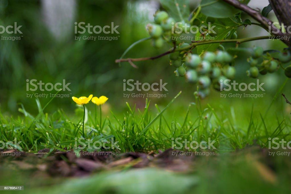 Buttercup under bluberry bush stock photo